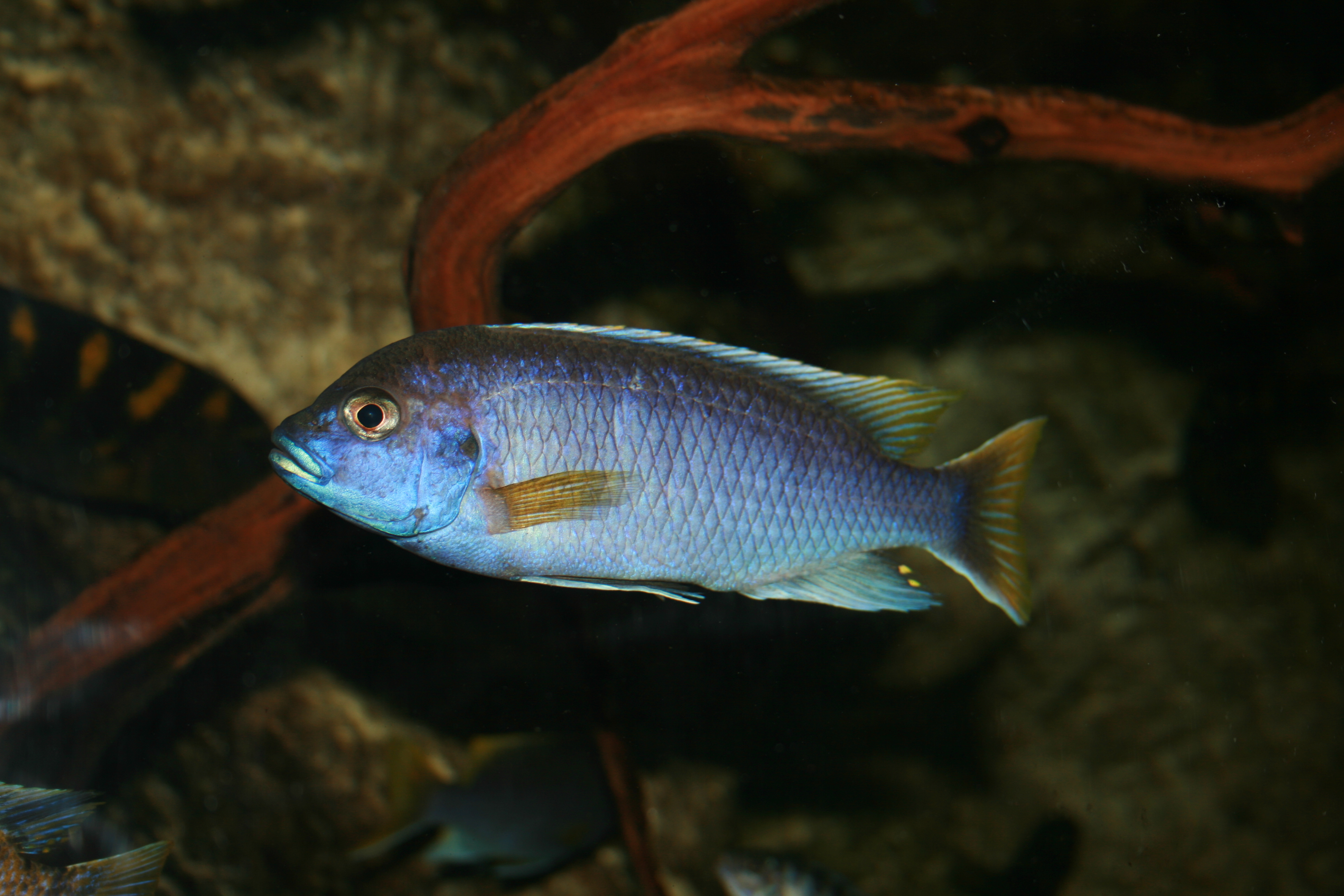 Cichlid Meaning And Definition