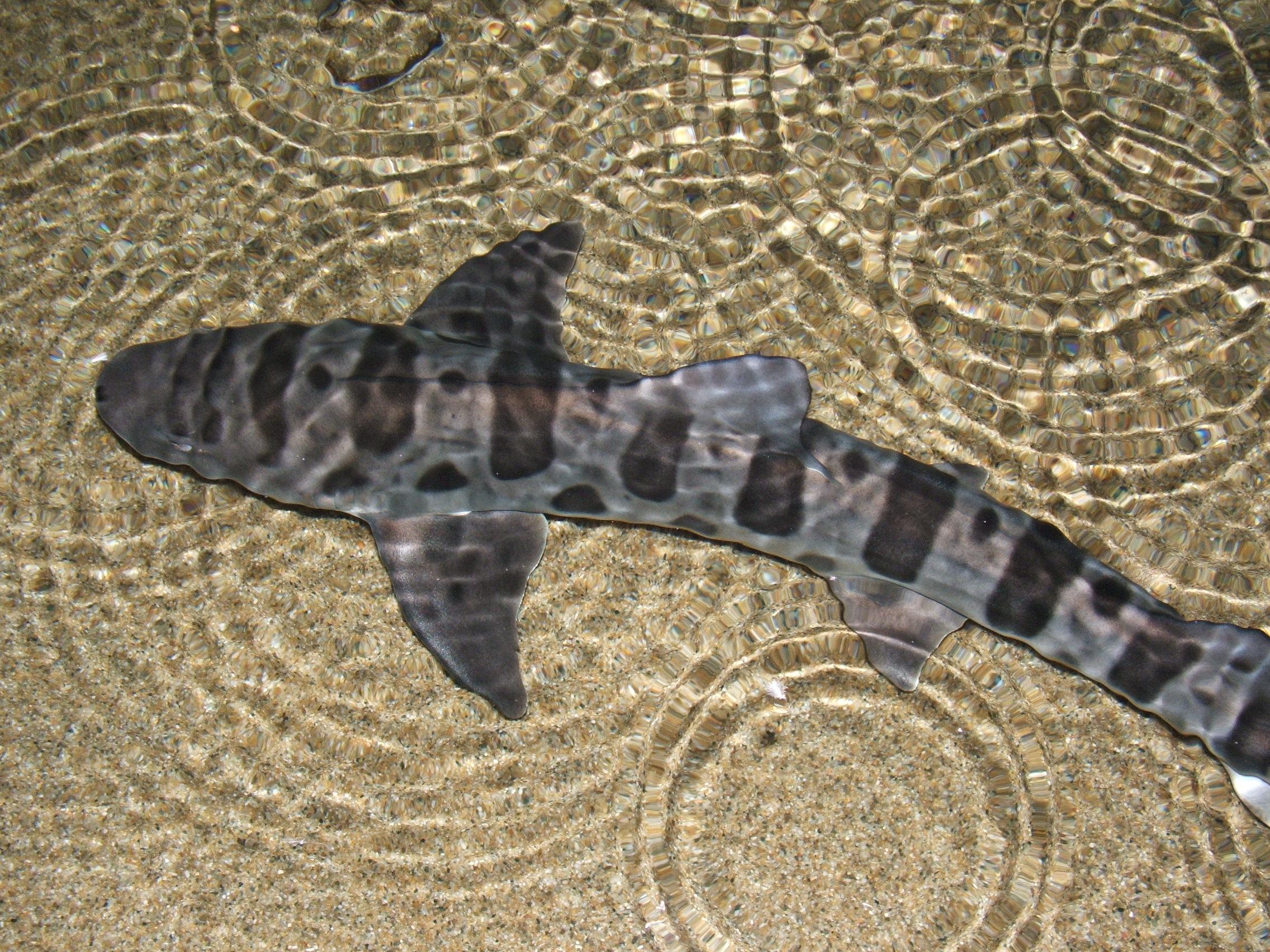 Leopard Shark Or California Native Fish Snorkeling Tour Laguna Beach