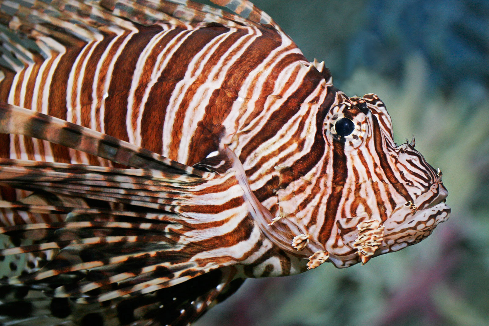 lion fish The lionfish (also known as the turkeyfish, tigerfish, dragonfish, scorpionfish, and butterfly cod) is a poisonous spiky fish found in the warmer waters of the western and central pacific ocean.
