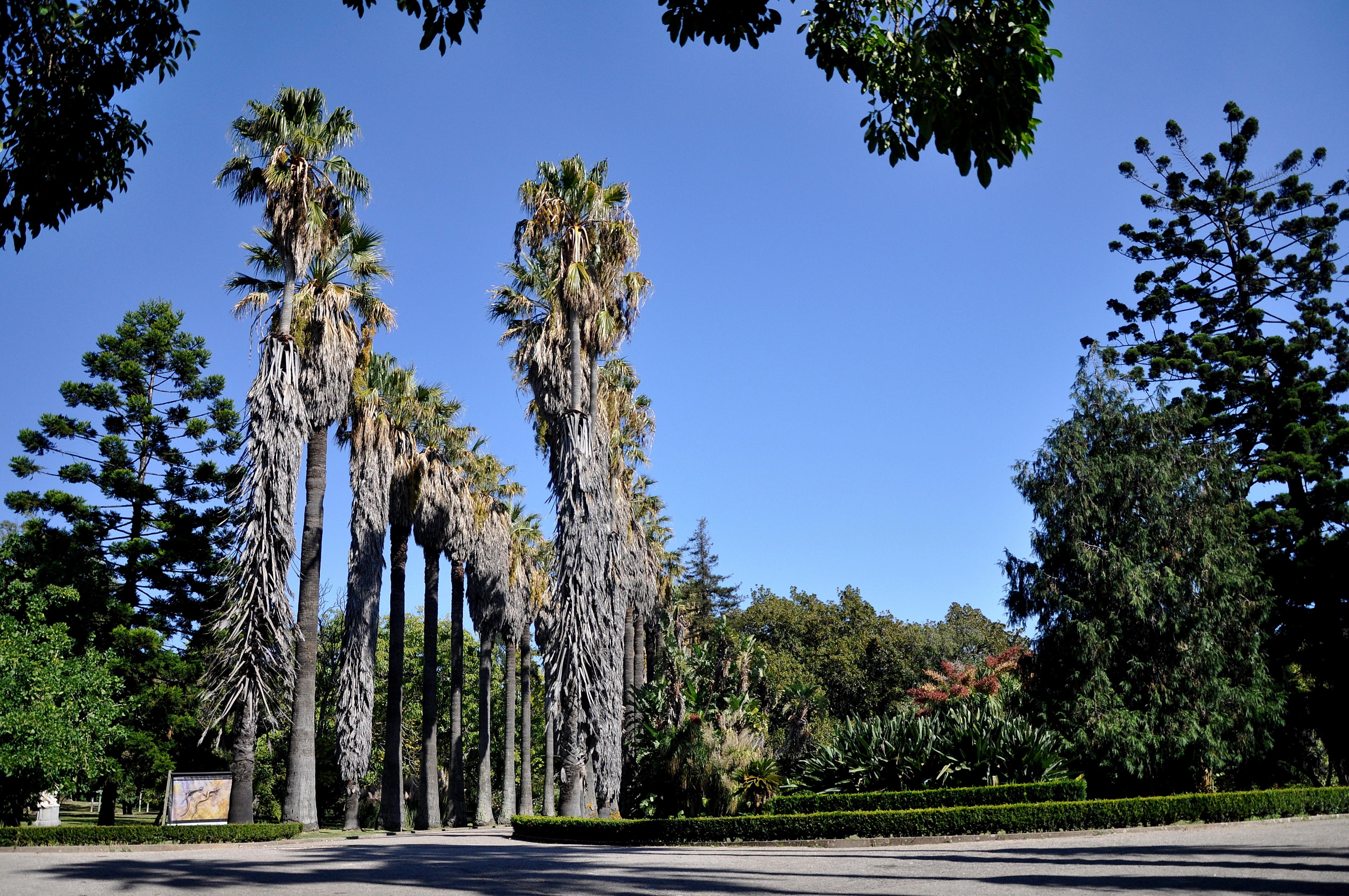 FileLisboa Jardim Botânico Tropical Washingtonia filifera 19102010