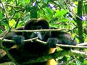 Mantled Howler Closeup - brightened.jpg