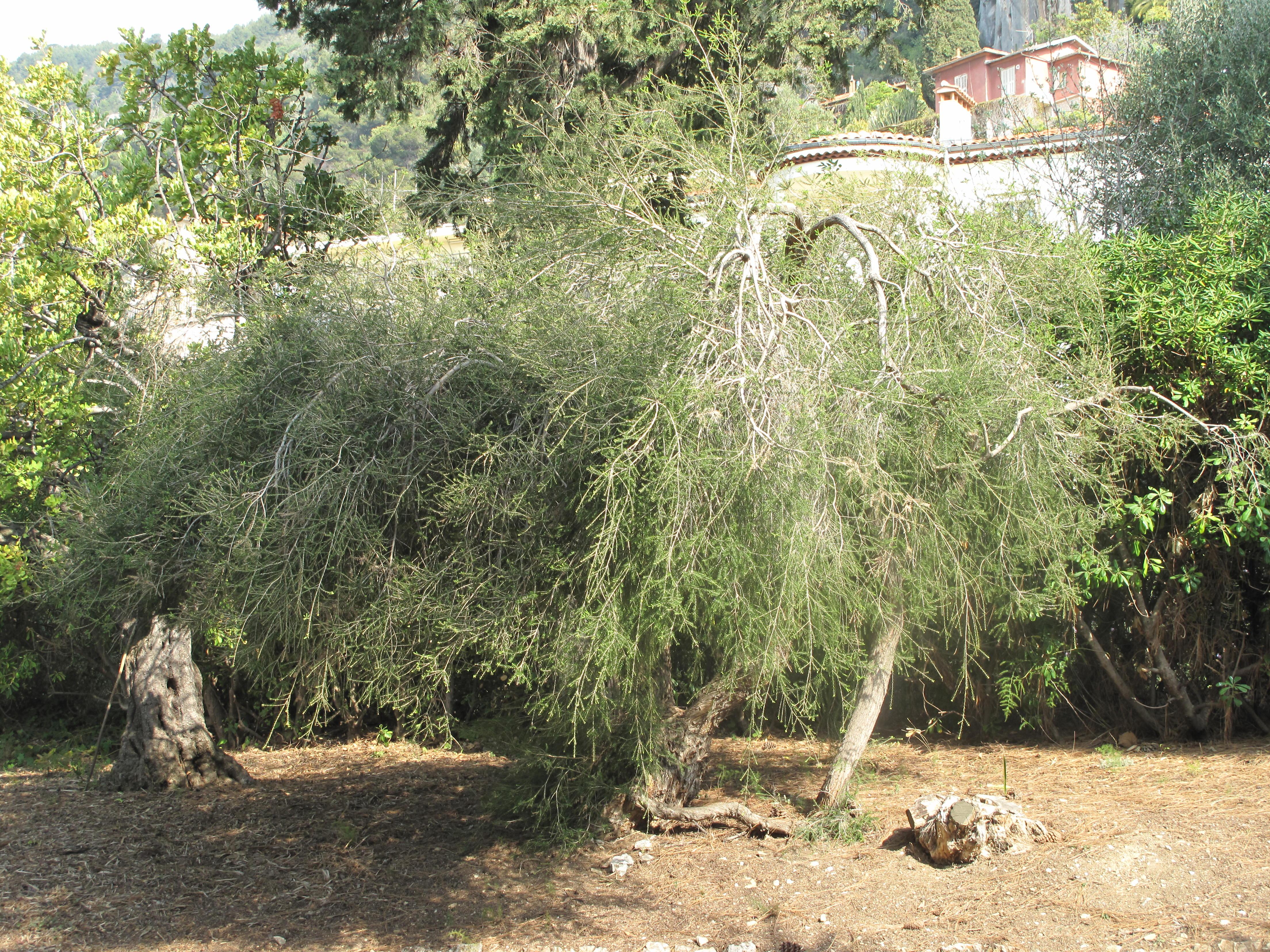 Tea Tree Oil Wikipedia