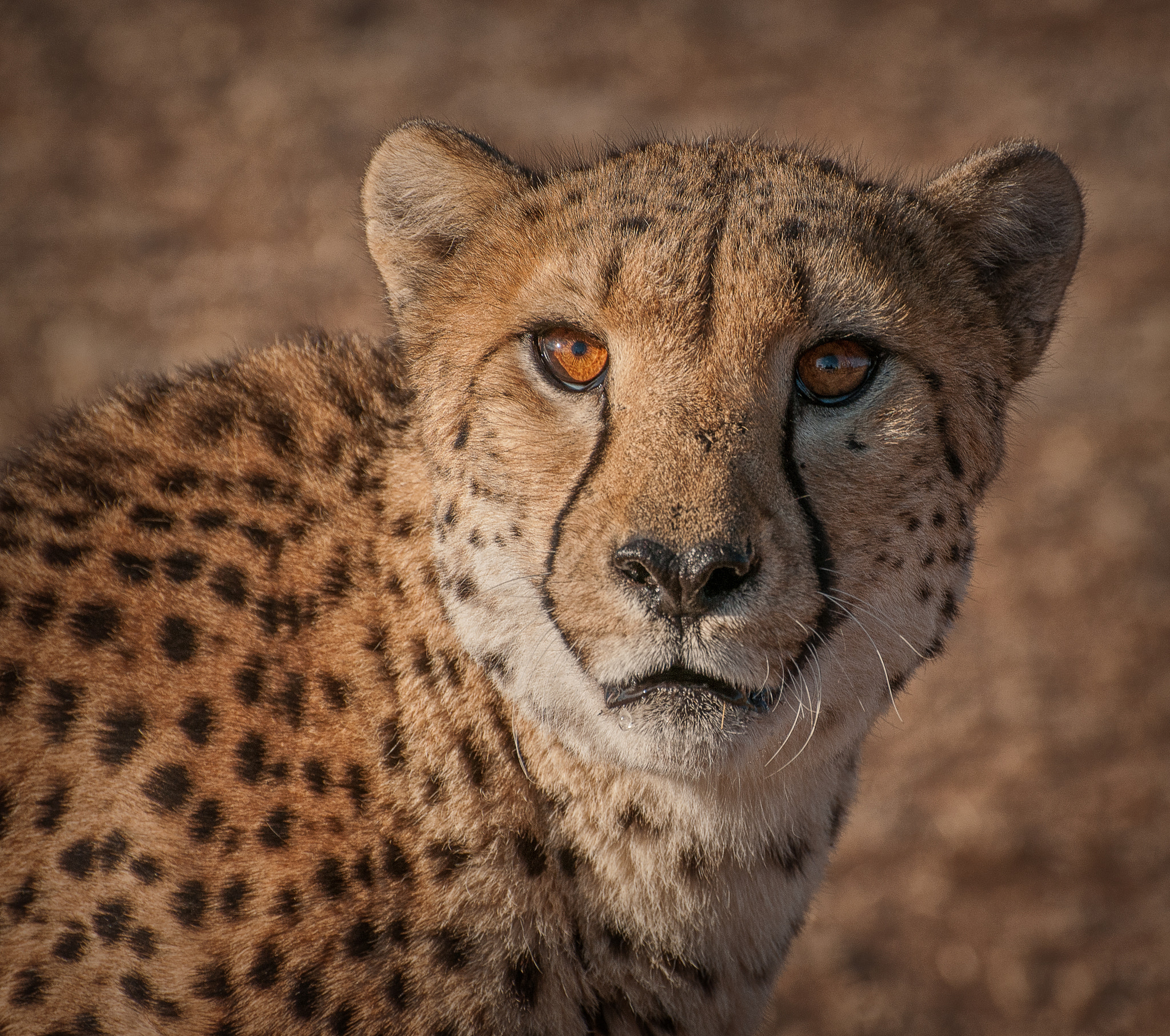 Namibian Cheetah portrait by Louise, imported from 500px