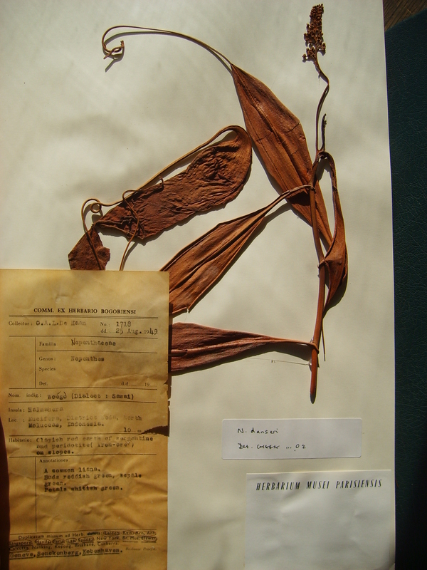 usm herbarium Peruvian maca: two scientific names lepidium meyenii walpers and lepidium peruvianum chacon the herbarium at usm in lima has not allowed tam.