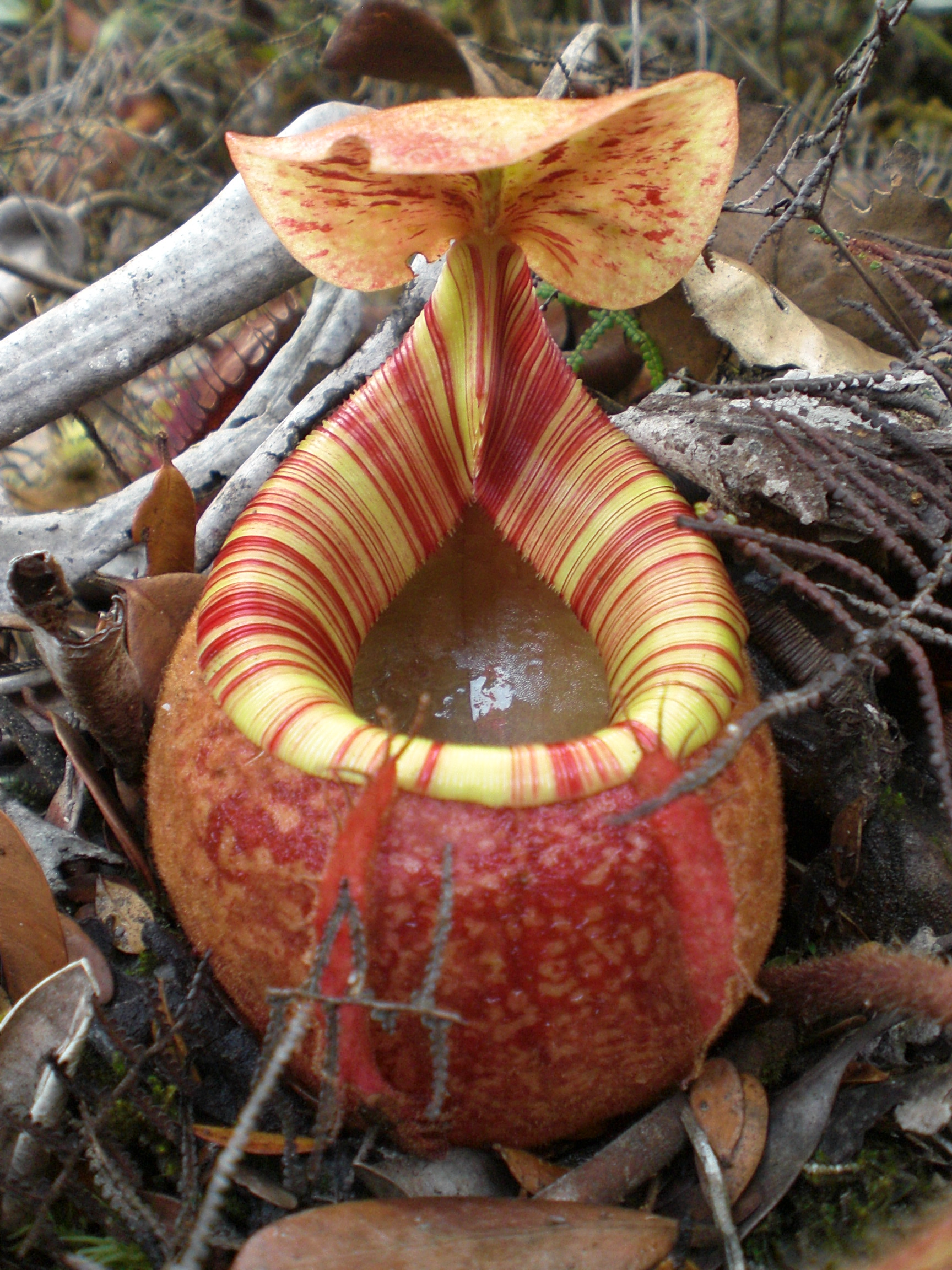 Nepenthes peltata wikipedia for Plante carnivore