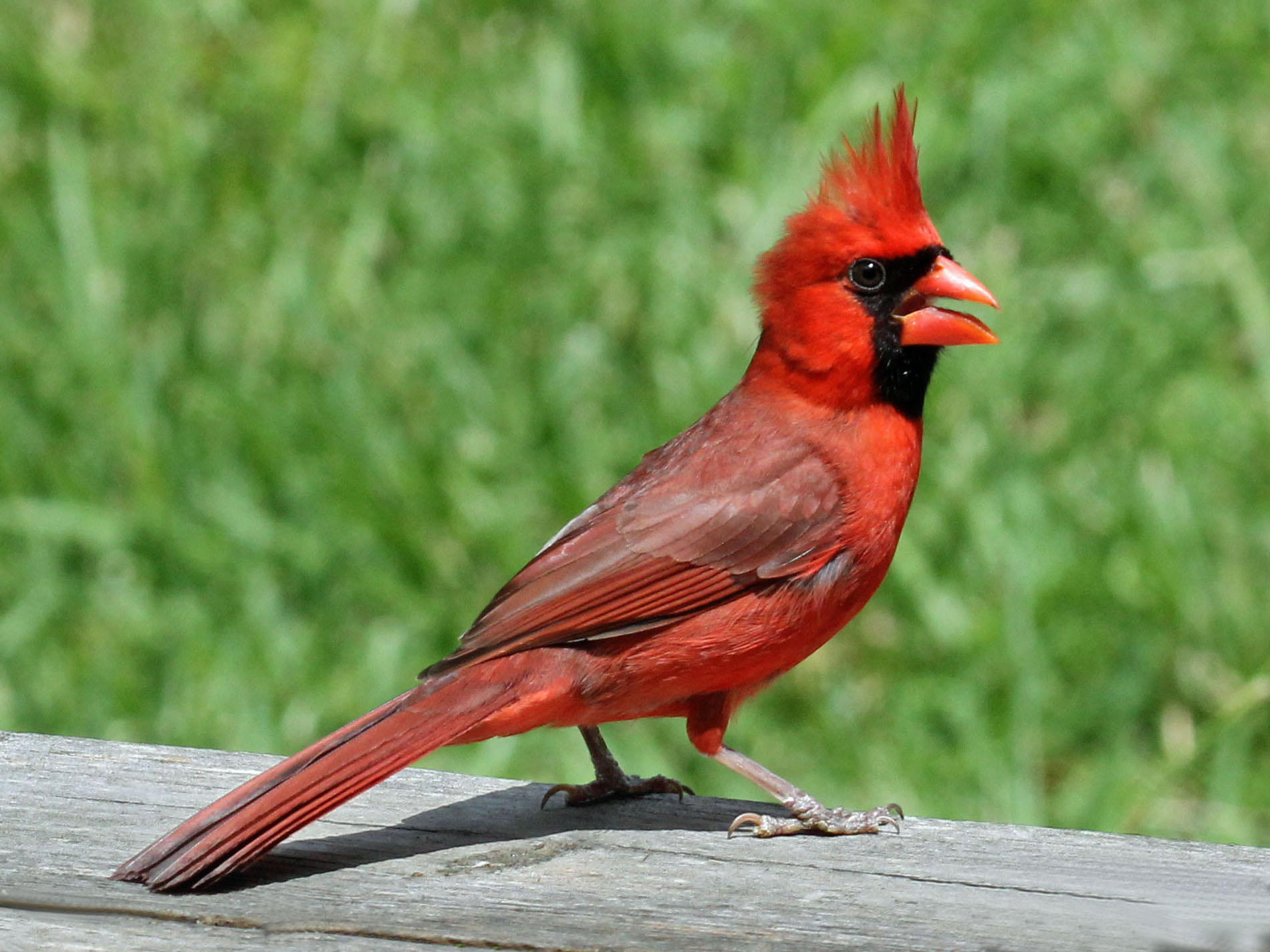 Northern Cardinal male RWD2.jpg