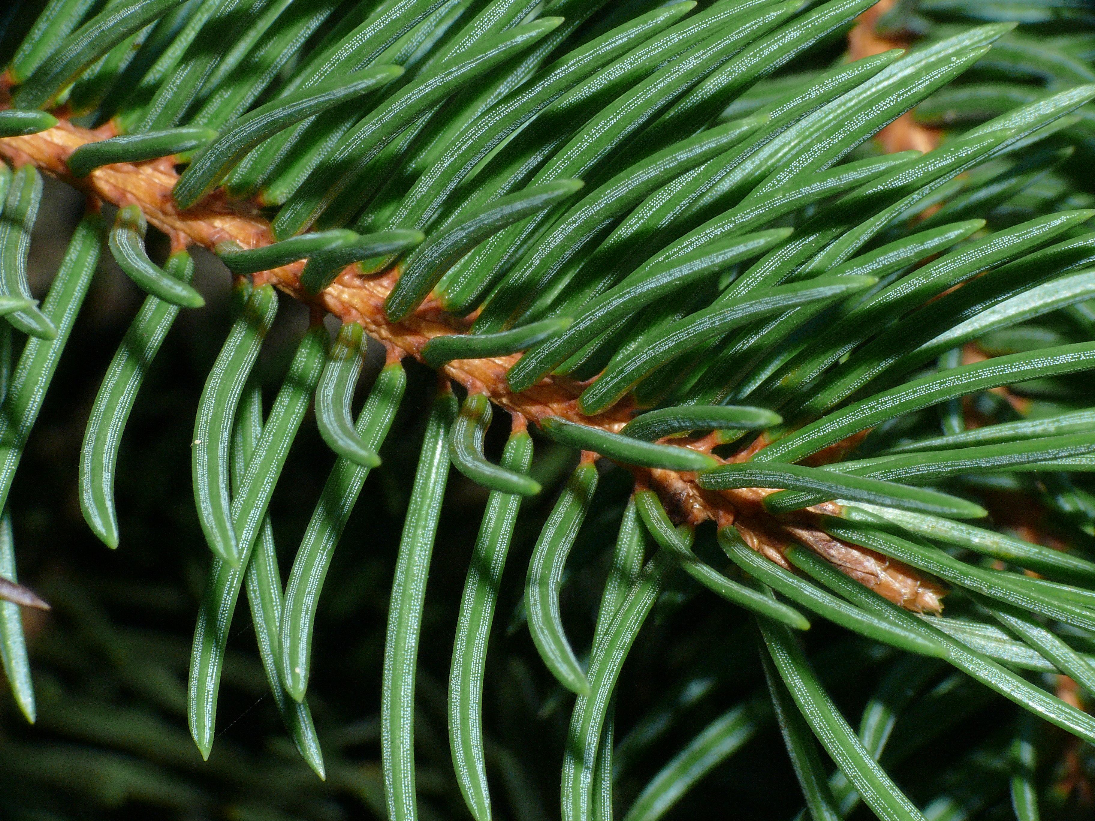 filenorway spruce needle stomatajpg wikimedia commons