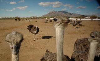 Fazenda de avestruzes entre Phoenix e Tucson (EUA)