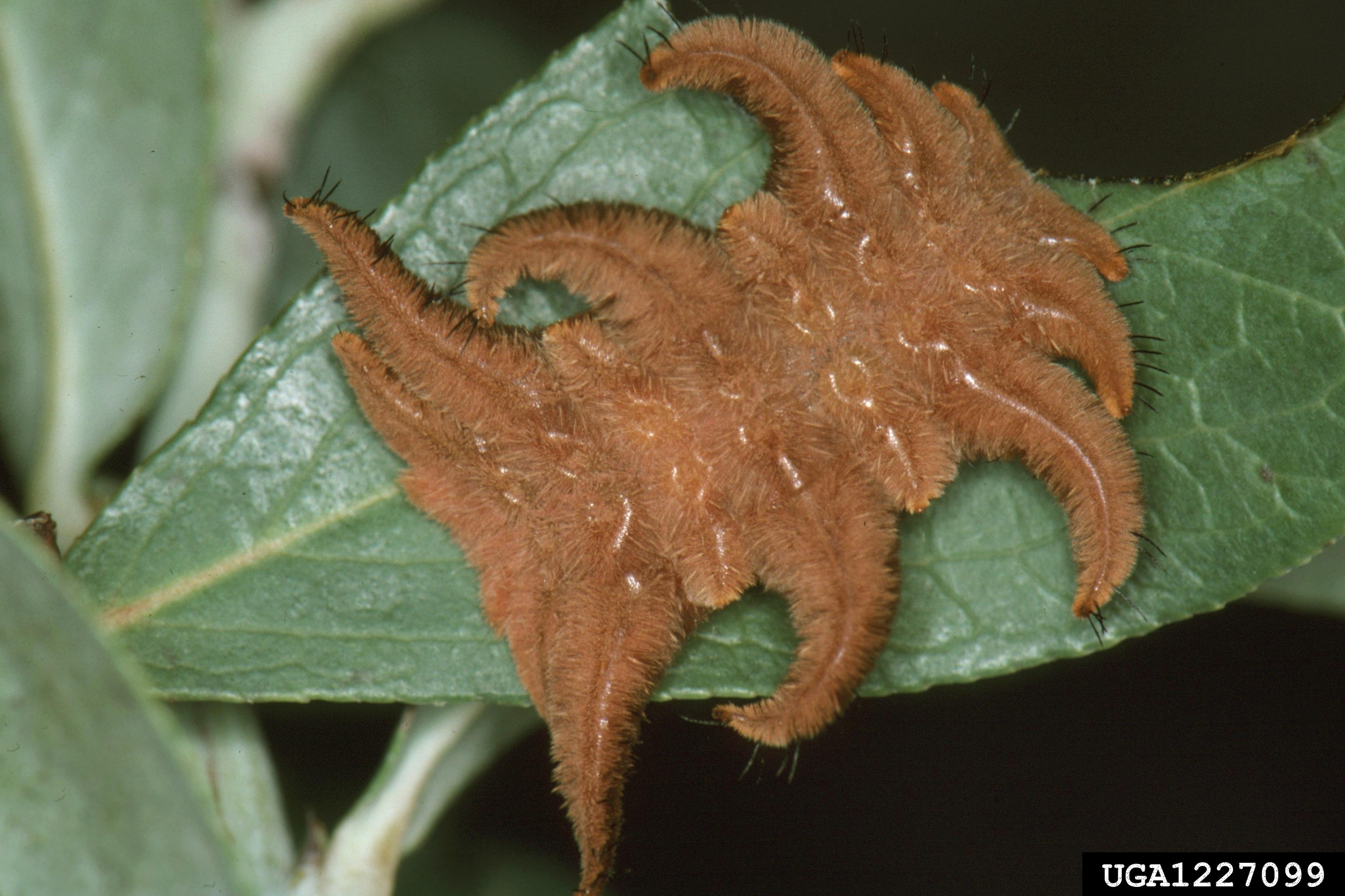 Phobetron pithecium - Wikipedia