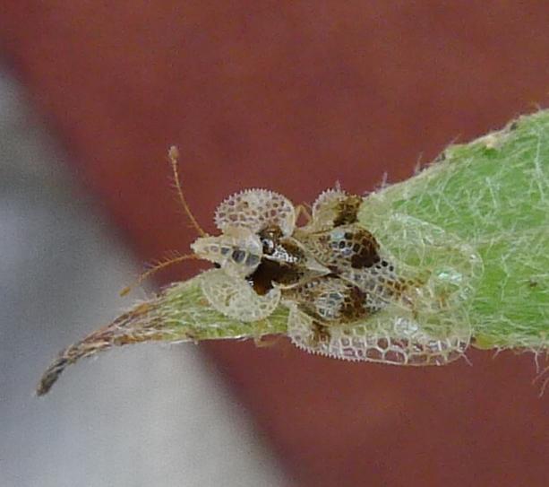 Platanen-Netzwanze (Corythucha ciliata)