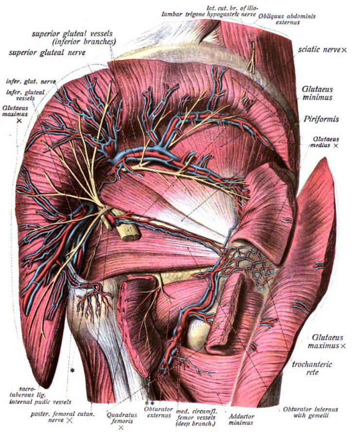 Inferior gluteal veins - Wikipedia