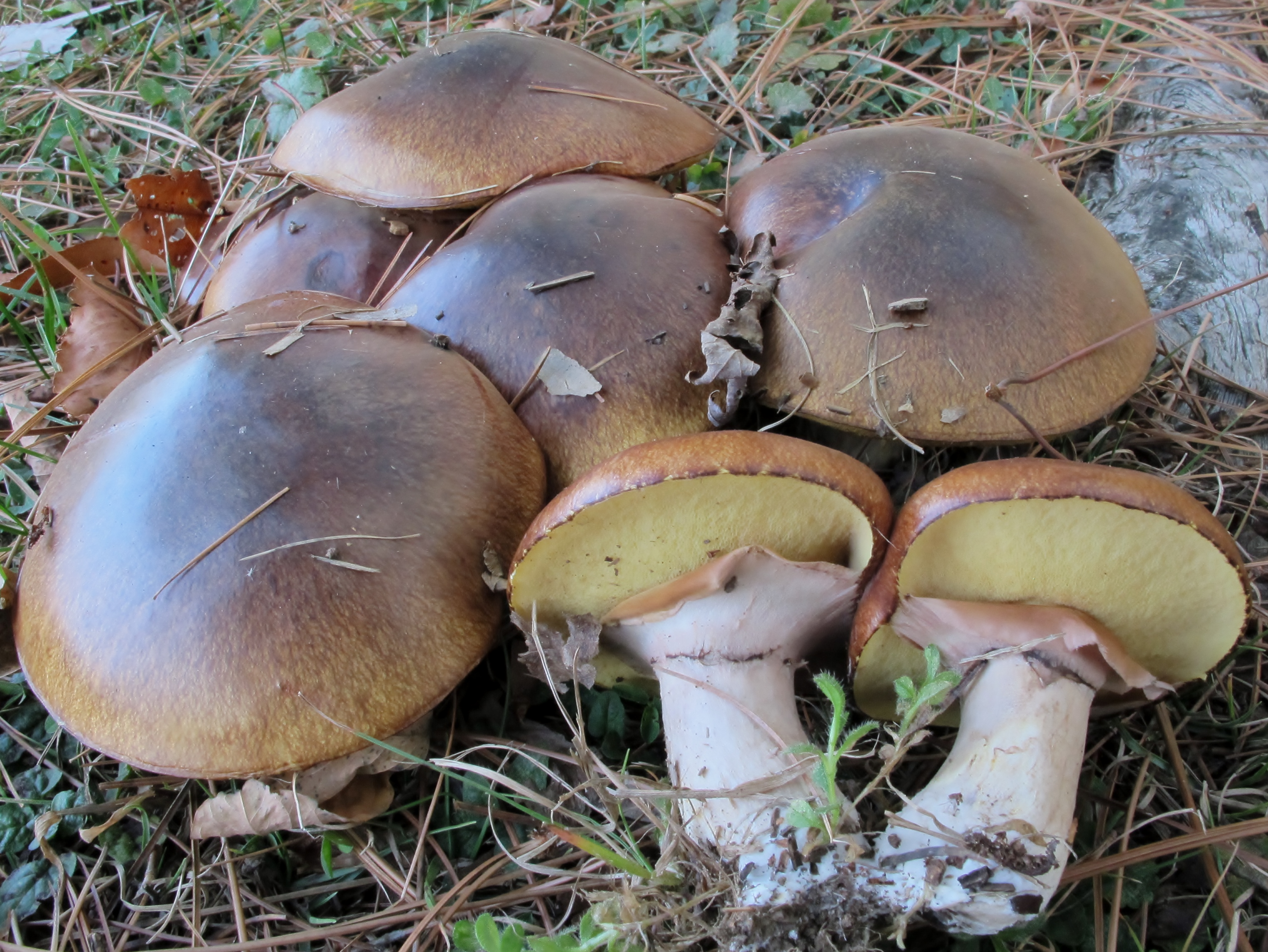 Slippery Jack Mushrooms