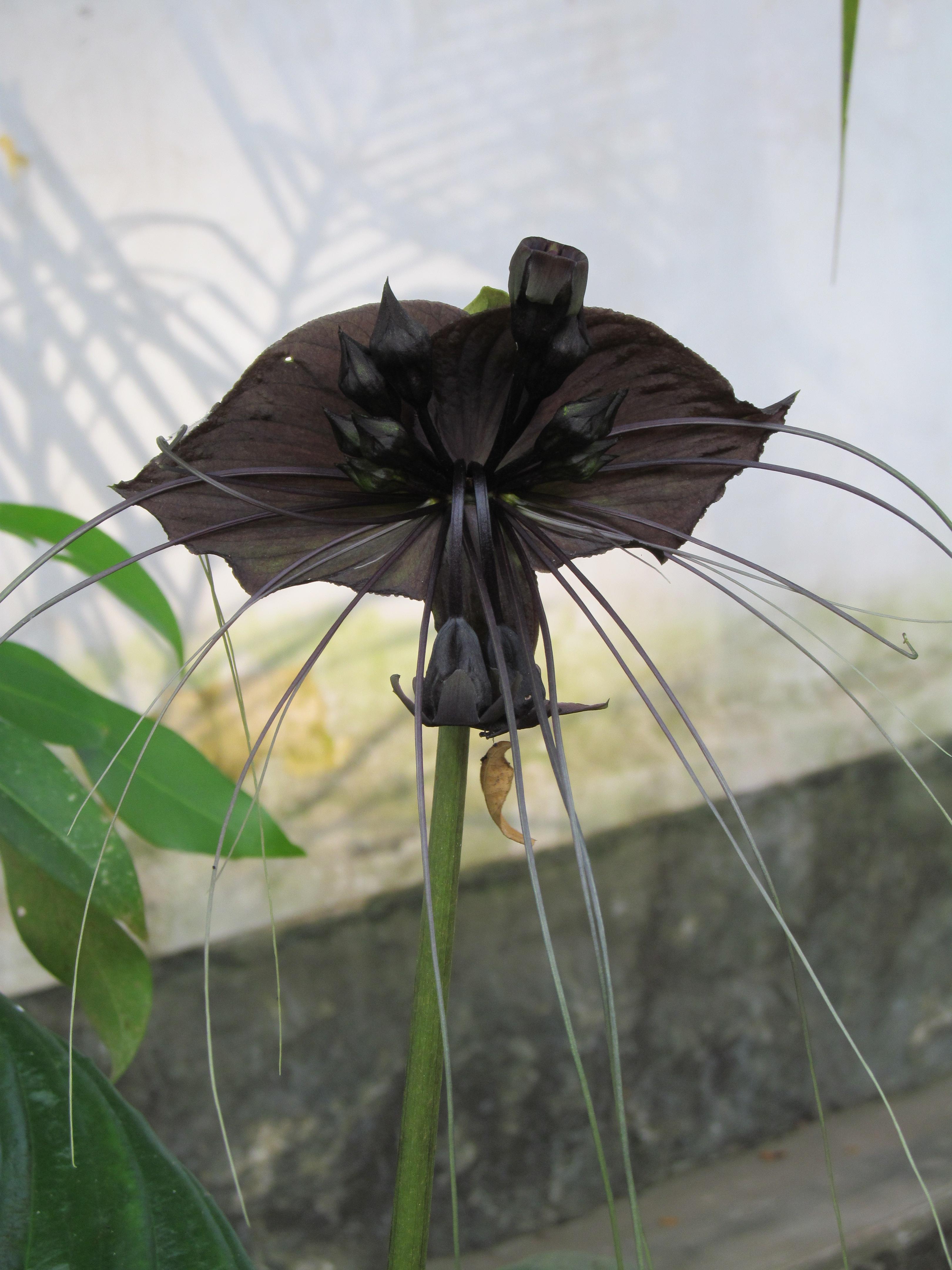 File Tacca chantrieri Kerala Vavvalpoovu black bat flower 01 JPG Wikime