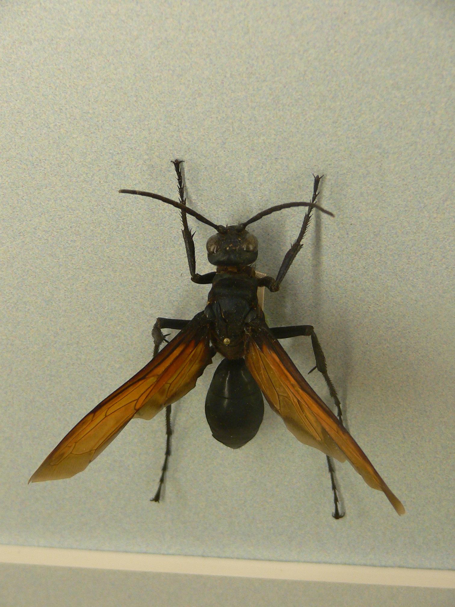 ベッコウバチ オオ ワイルドすぎ!世界最大のハチに自分の腕を刺させる男