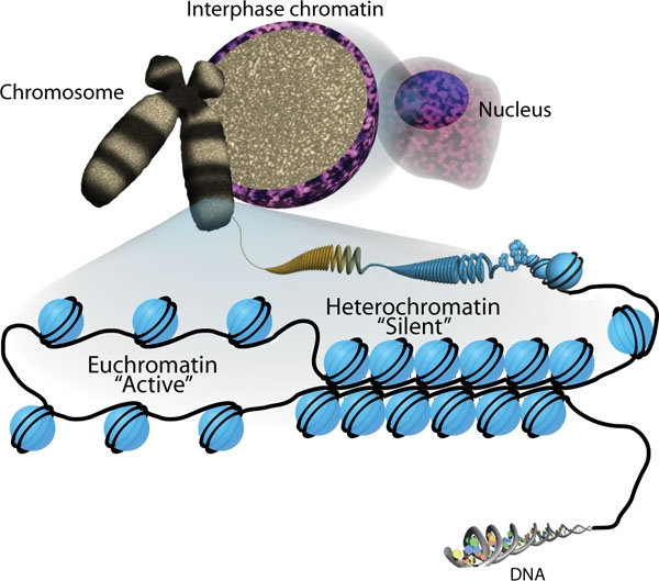 The basic unit of chromatin organization is the nucleosome, which comprises 147 bp of DNA wrapped ar
