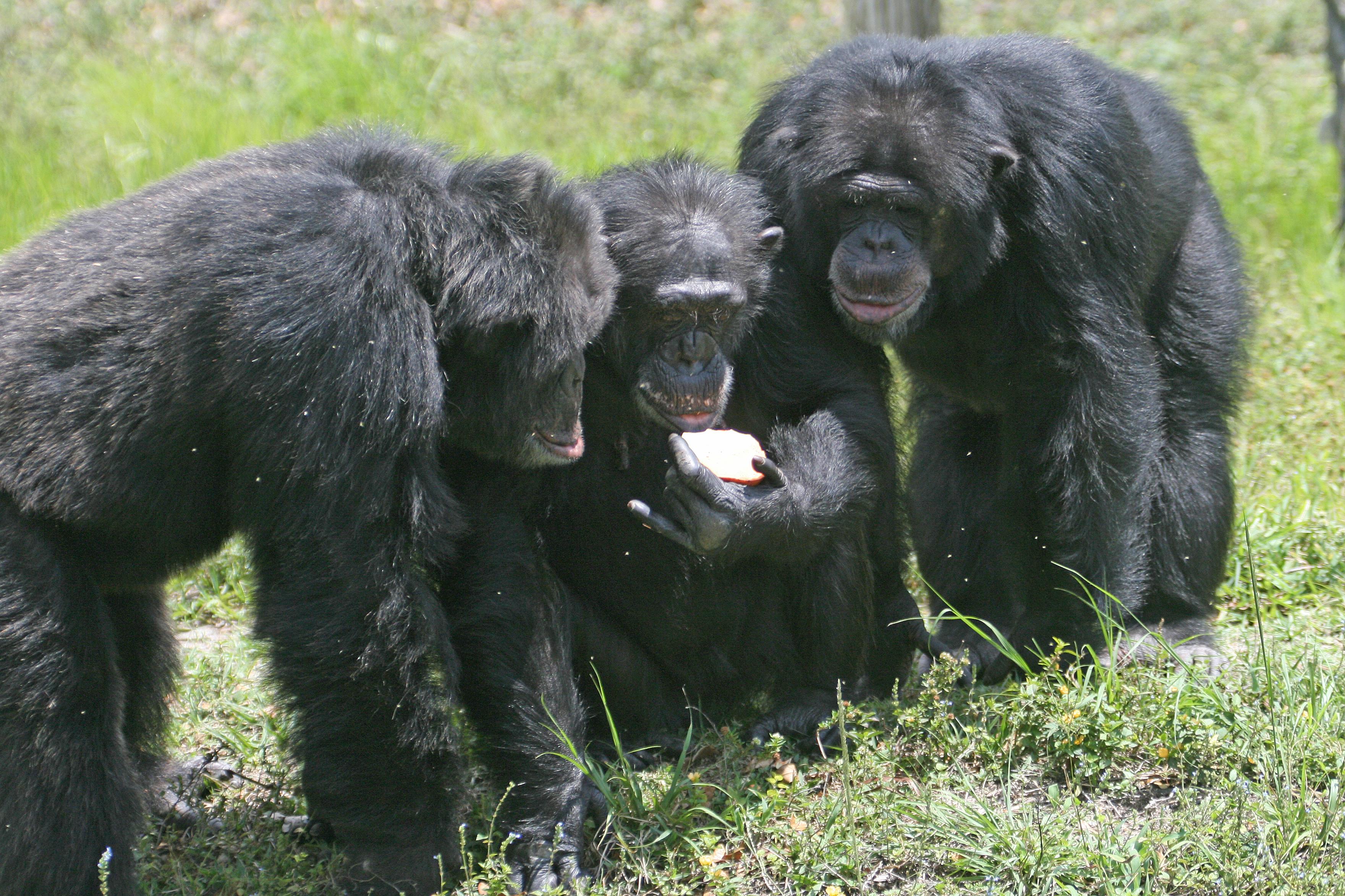 Chimpanzees are social animals.