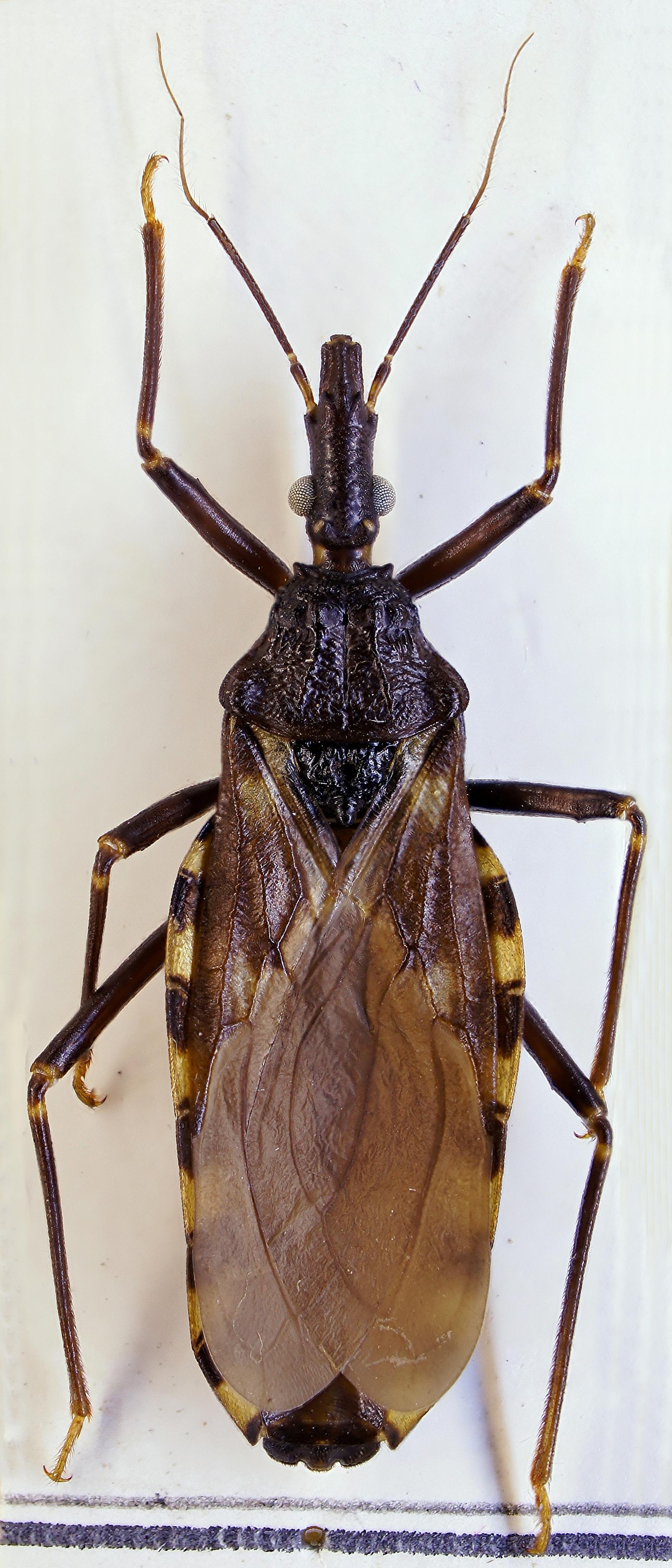 insecto mal de chagas