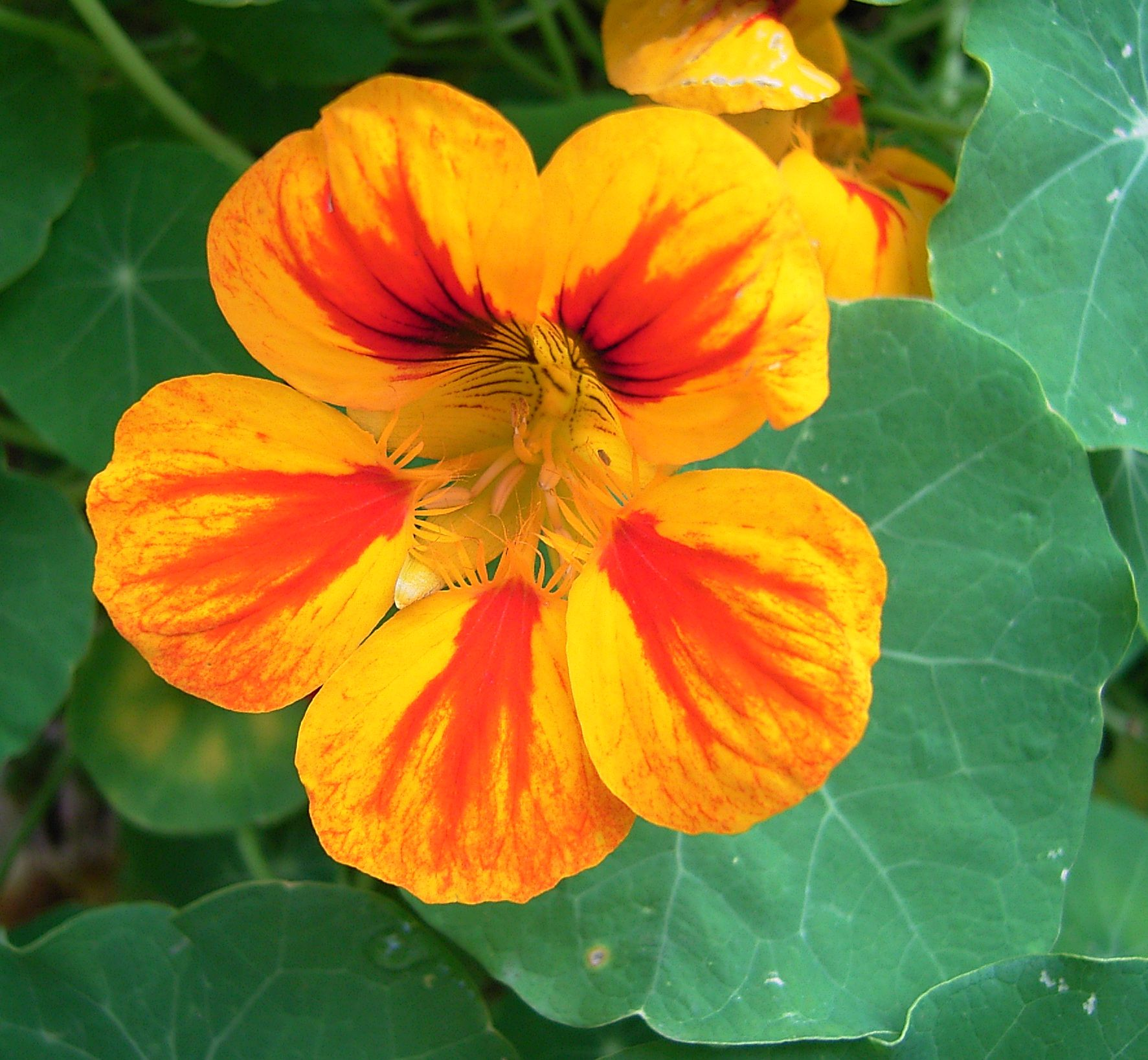 tropaeolum cress indian nasturtium garden. Black Bedroom Furniture Sets. Home Design Ideas