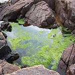 <i>Ulva intestinalis</i> species of alga