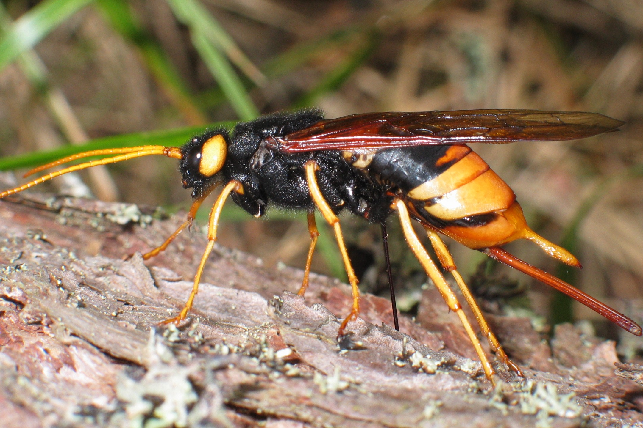 hornisse wespe biene mit stachel so lang wie der k rper tiere biologie insekten. Black Bedroom Furniture Sets. Home Design Ideas