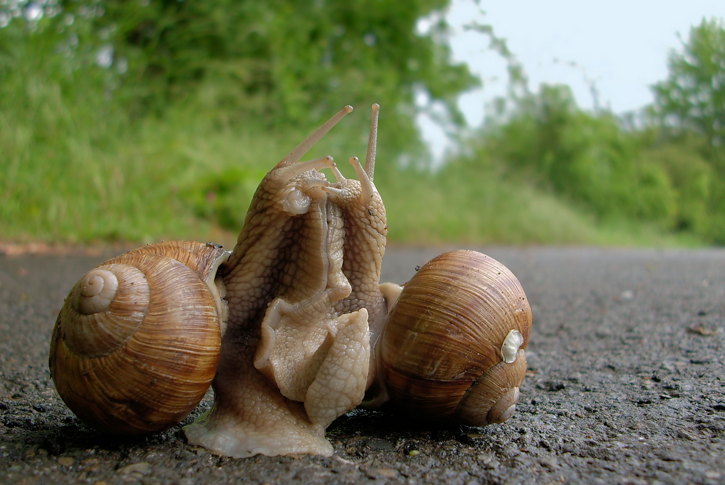 Snails reproduce asexually