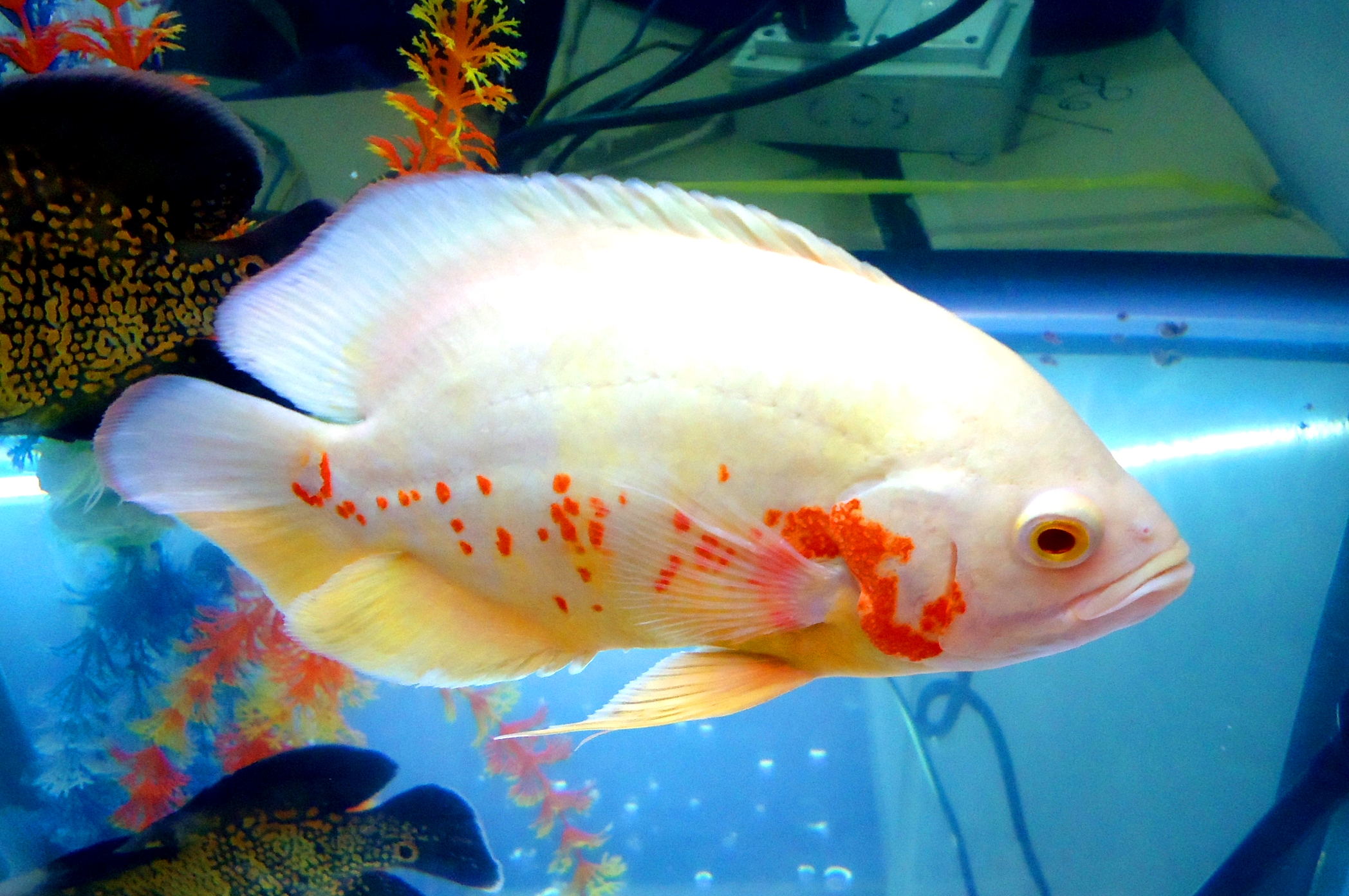 File white fish large jpg wikimedia commons for White fish types