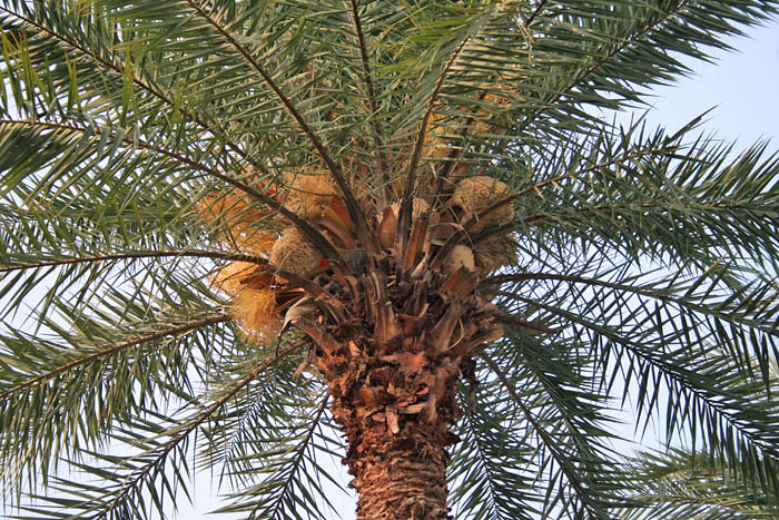 Wild Date Palm (Phoenix sylvestris) tree with male flowers at Narendrapur W IMG 4063
