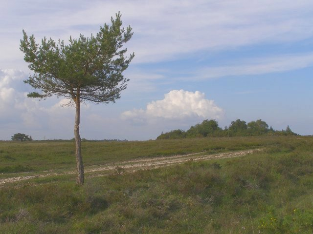 Young Scots pine by a track, Beaulieu Heath, New Forest - geograph.org.uk - 457082