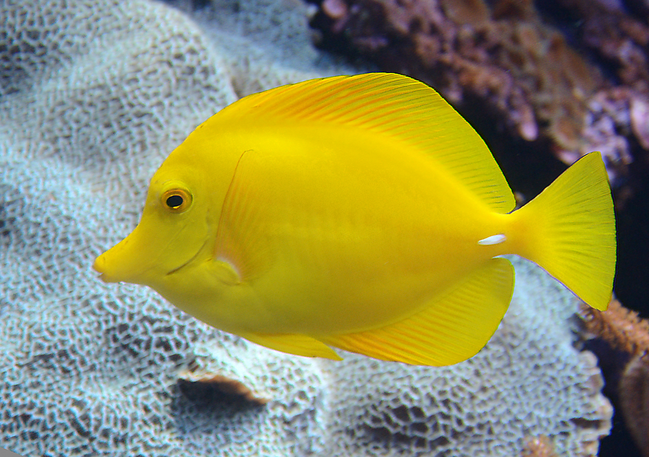 File zebrasoma flavescens wikimedia commons for Agua para peces