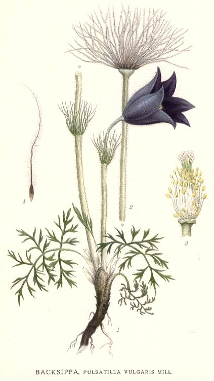 http://upload.wikimedia.org/wikipedia/commons/3/35/171_Pulsatilla_vulgaris.jpg