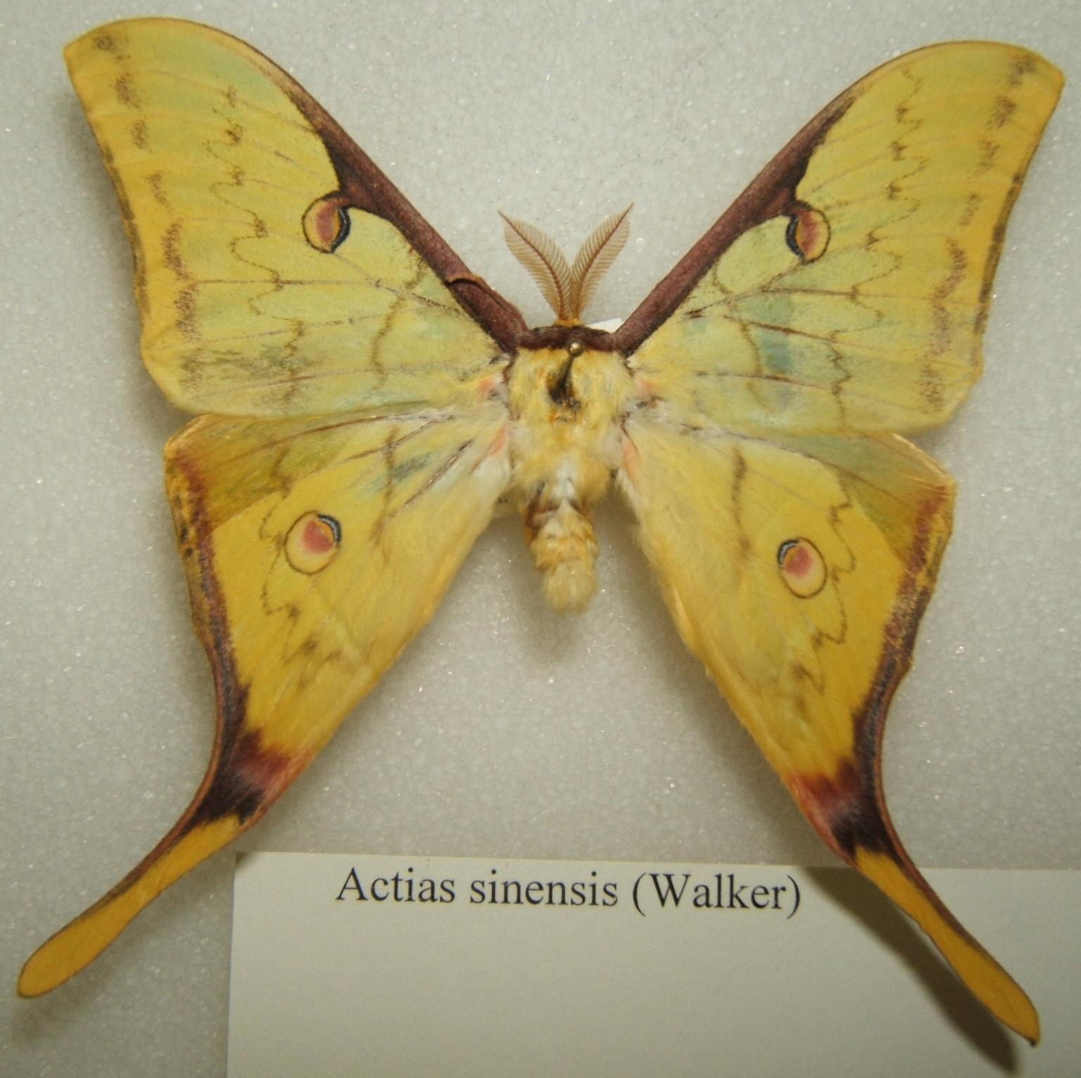 Sưu tập Bộ cánh vẩy  - Page 17 Actias_sinensis_adult_male_sjh