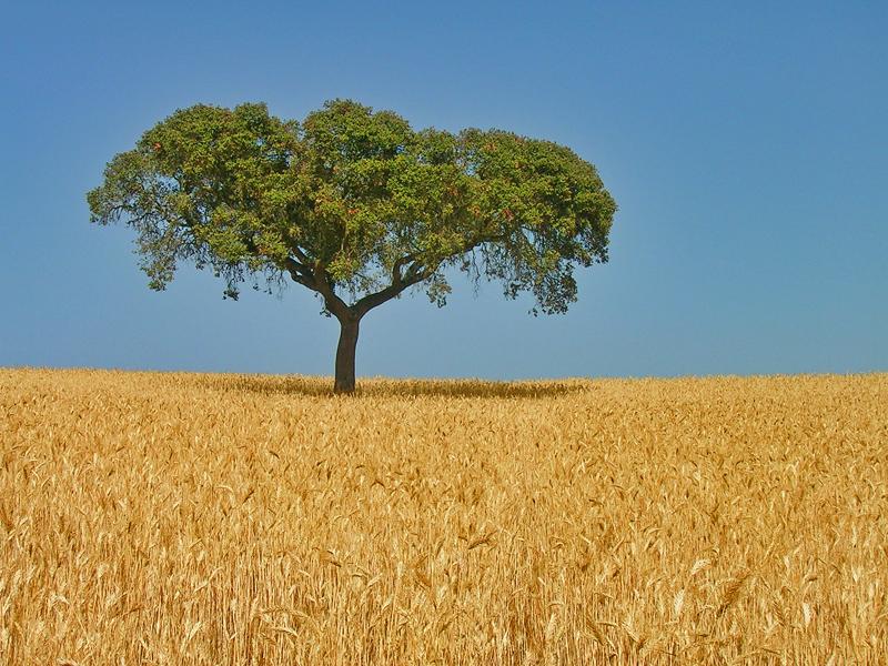 Chêne au milieu d'un champ de blé dans la région d'Alentejo (Portugal).  (définition réelle 800×600)