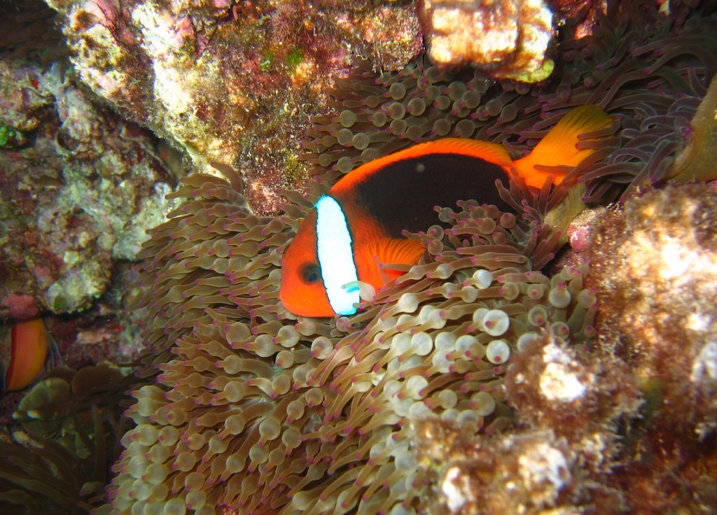 http://upload.wikimedia.org/wikipedia/commons/3/35/Amphiprion_melanopus_in_Entacmaea_quadricolor.jpg