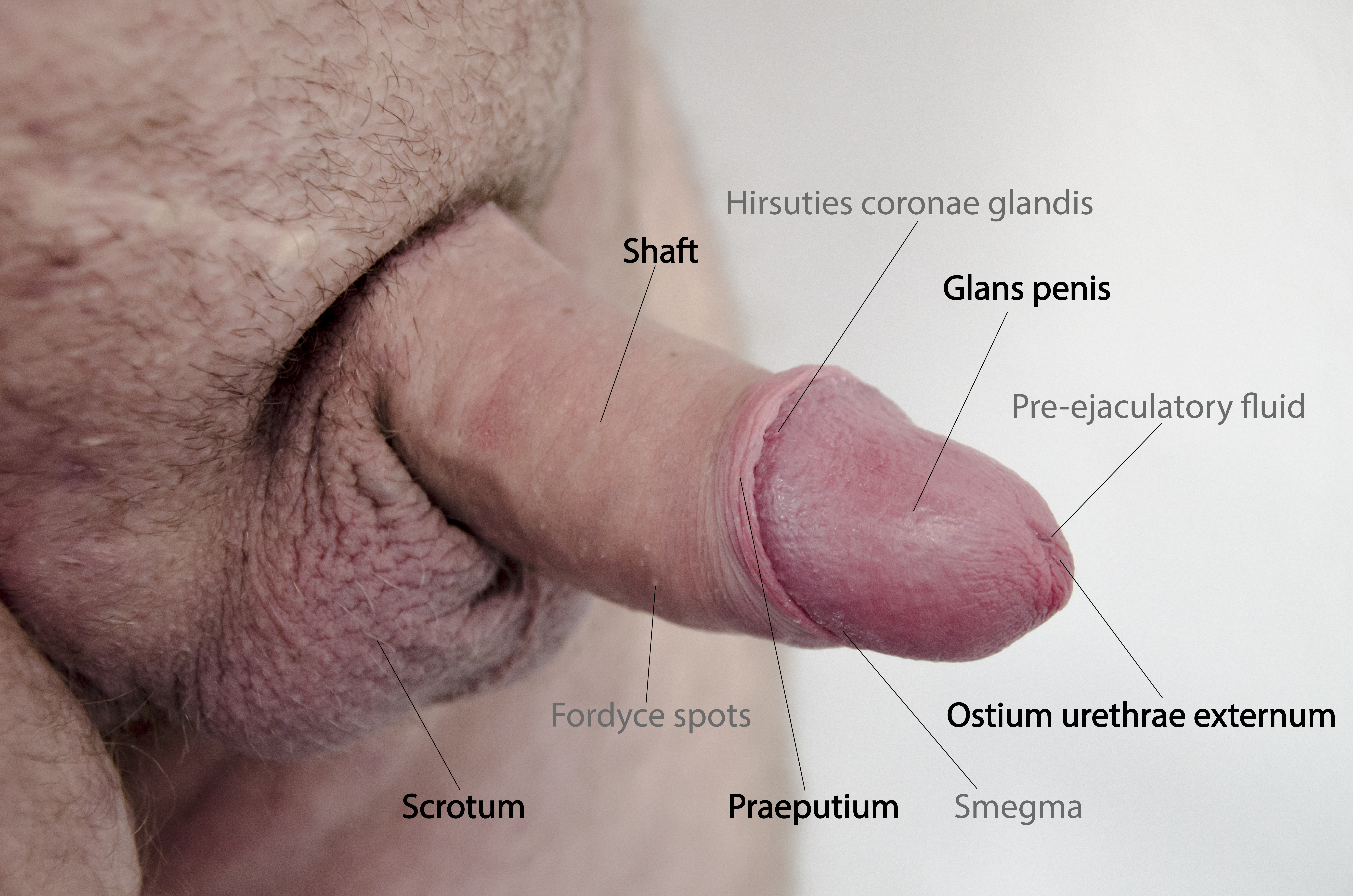 Why Human Penis Doesnt Have A Bone