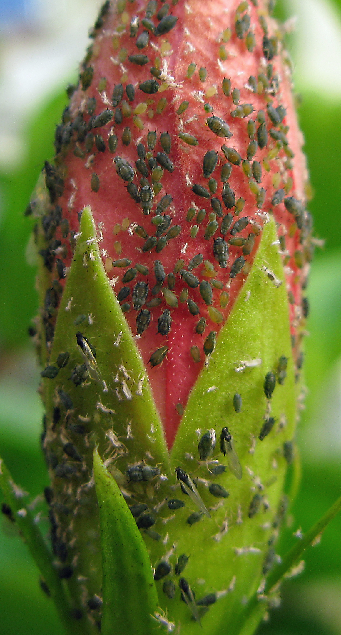 File Aphids On An Hibiscus Flower Bud 9 Aug 2016 Jpg