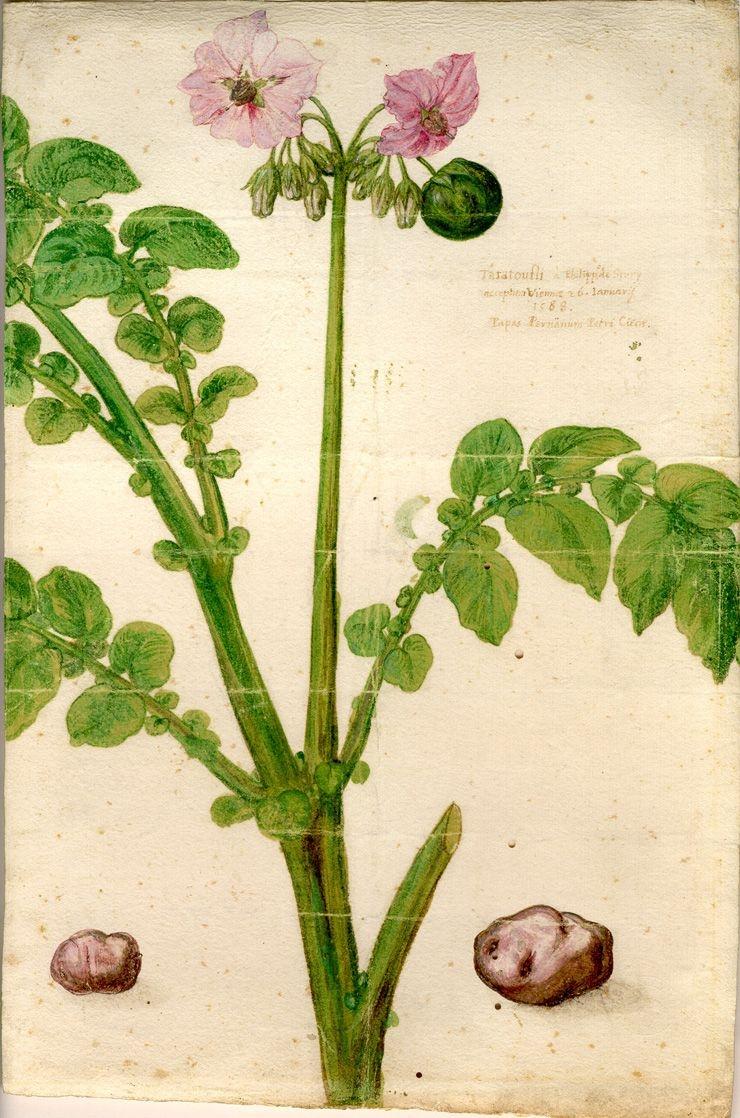 Fichier:Aquarelle de Clusius représentant un plant de Taratouffli  (1588).jpg — Wikipédia