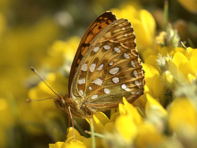 https://upload.wikimedia.org/wikipedia/commons/3/35/Argynnis_aglaja_underside.jpg