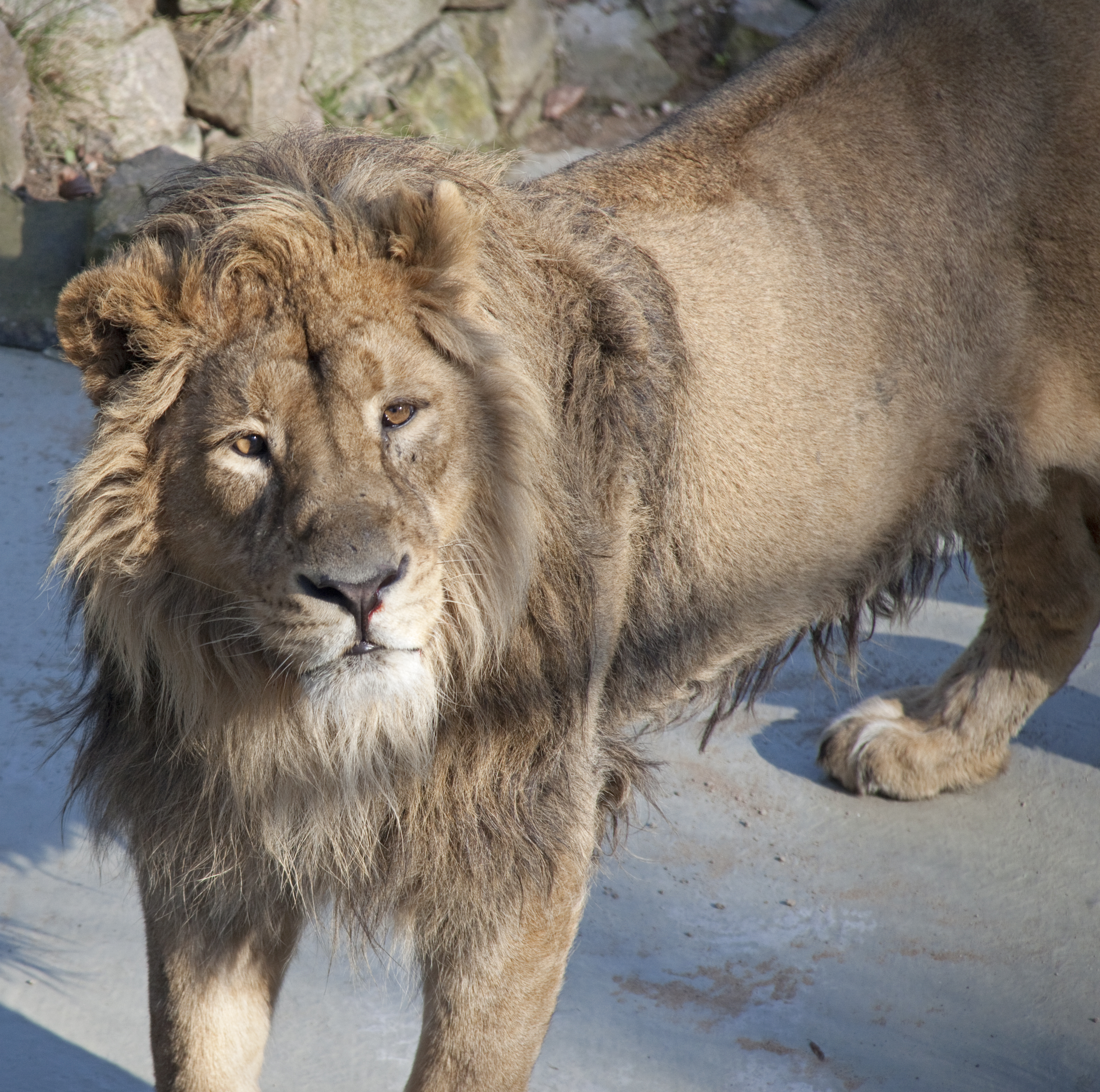 lion and asiatic lions The endangered asiatic lion, which only lives in one forest in india, has fought back from the verge of extinction, with its population increasing to more than 600, a minister said tuesday hailing a major conservation campaign the lion, which once roamed across southwest asia but is now restricted.