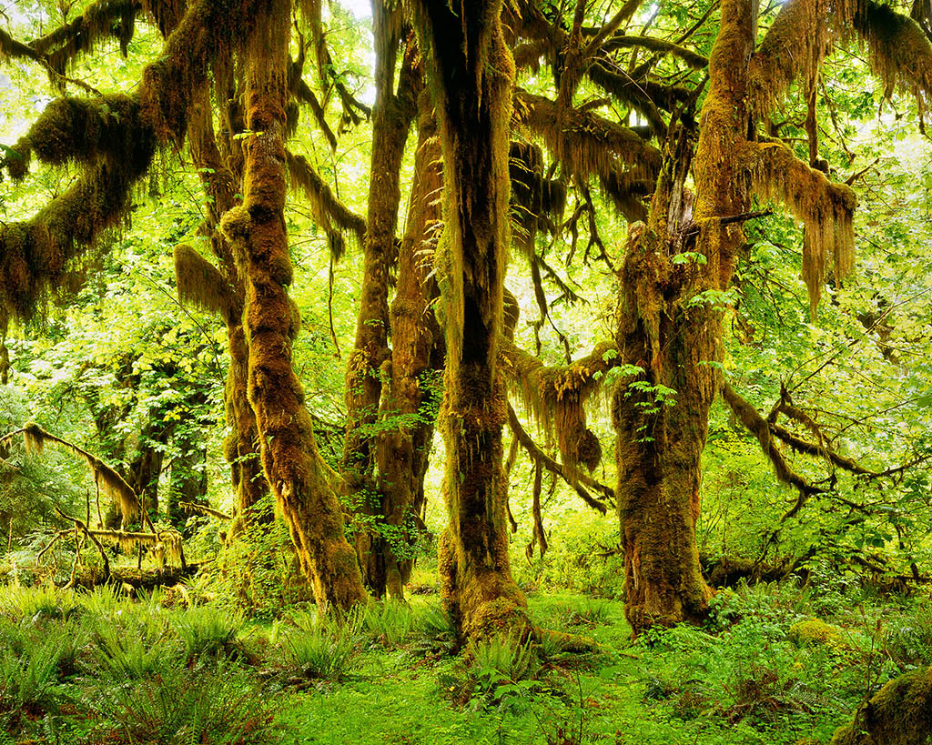 Image result for hoh rainforest