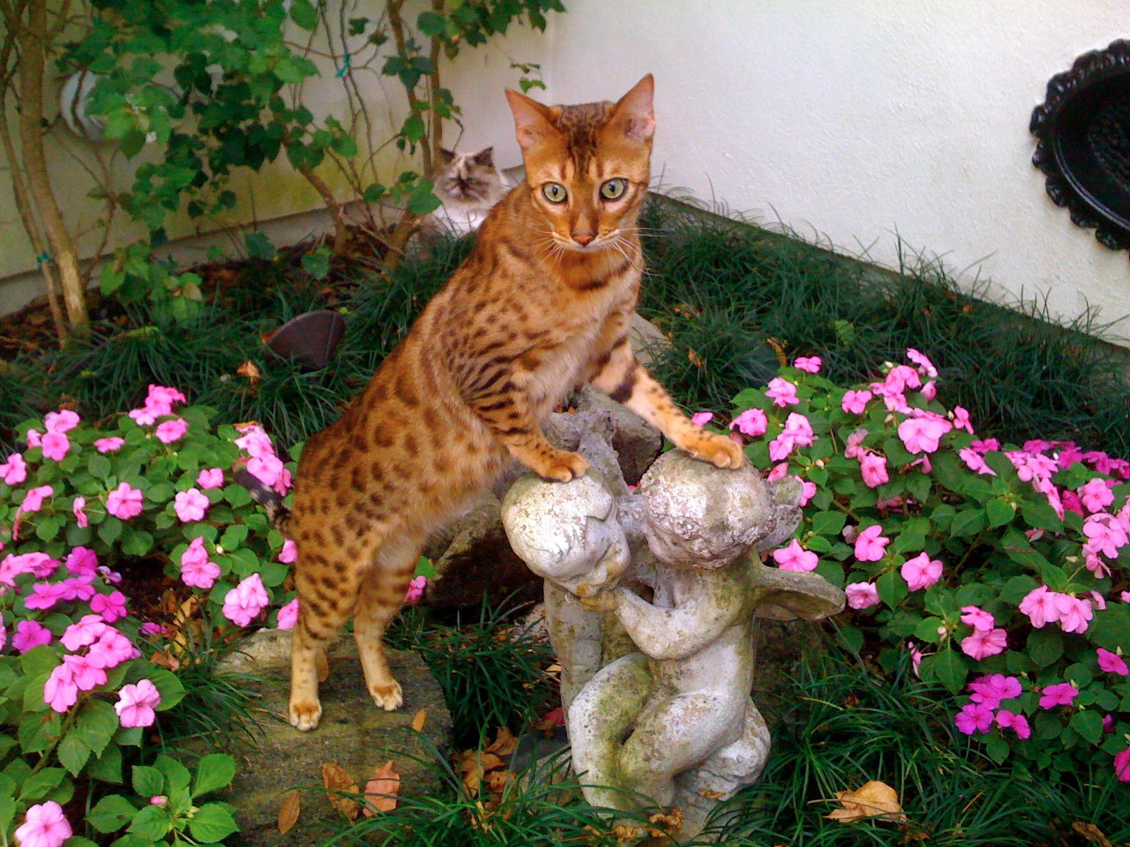 Bengal Cat Free To Good Home