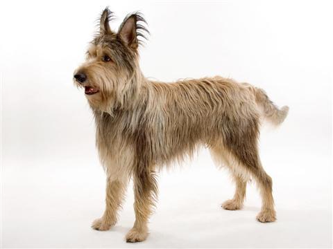 Pastor-da-picardia - Dog Scanner