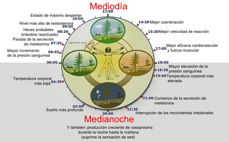 Depiction of Ritmo circadiano