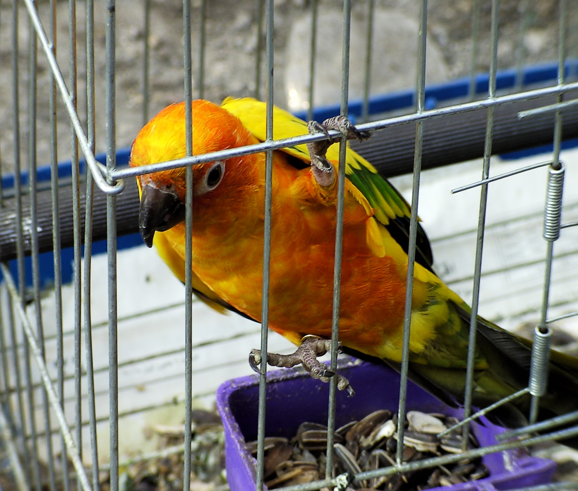 File:Bird in cage.jpg - Wikimedia Commons