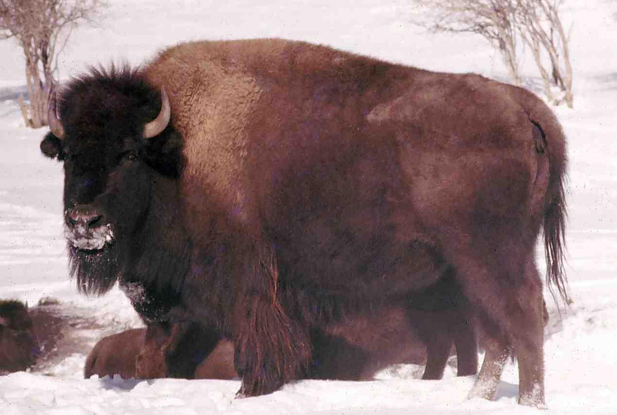39++ Hewan bison vs banteng terbaru