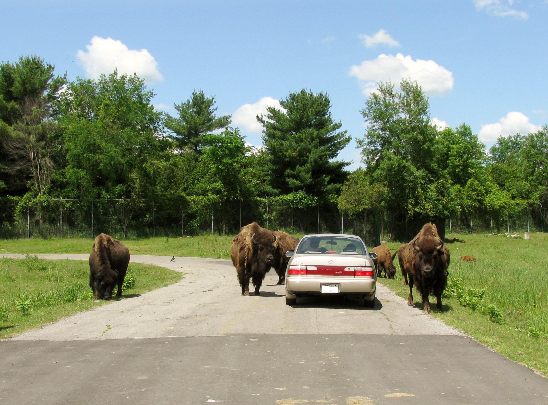Fichier:Bisons, Parc Safari.JPG — Wikipédia