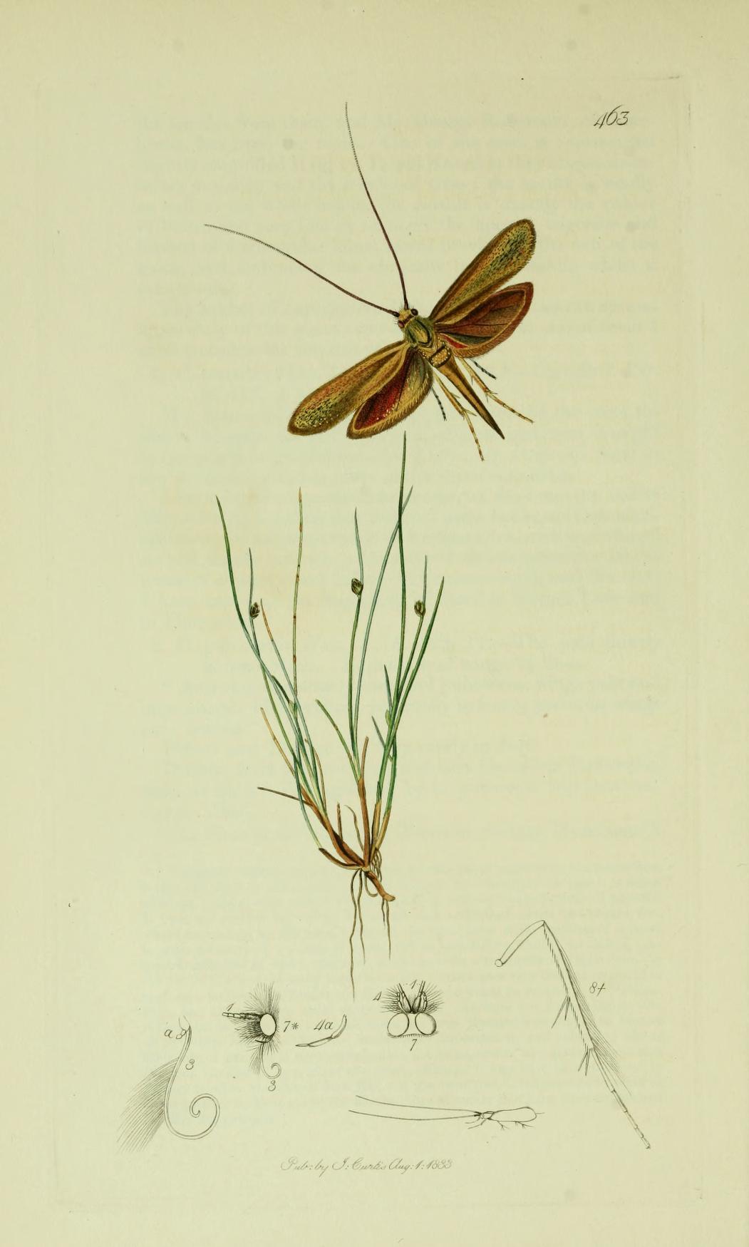 Coleophora frischella - Wikipedia
