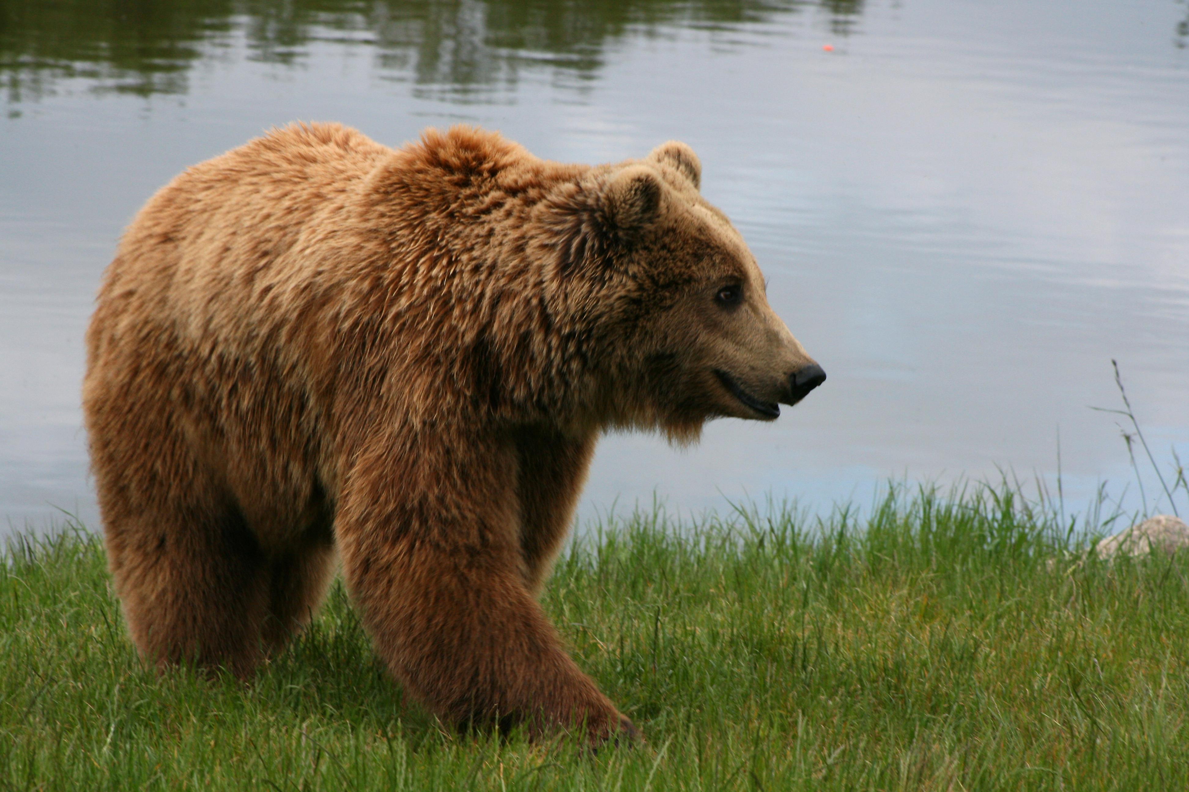 File:Brown bear (Ursus arctos arctos) smiling.jpg ...