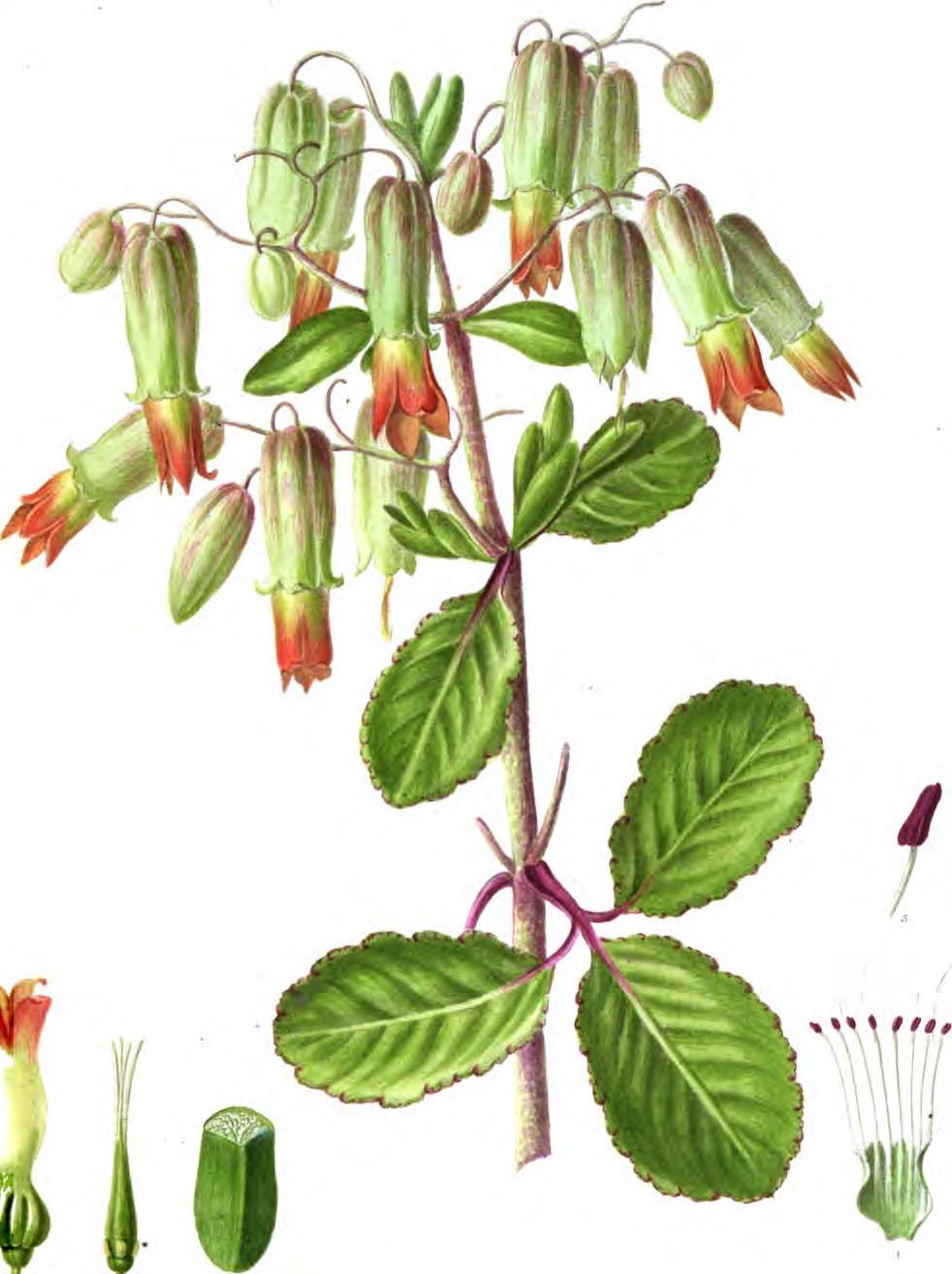 2 Blätter aus Kalanchoe Pinnata Pflanzen Sukkulenten Madagaskar