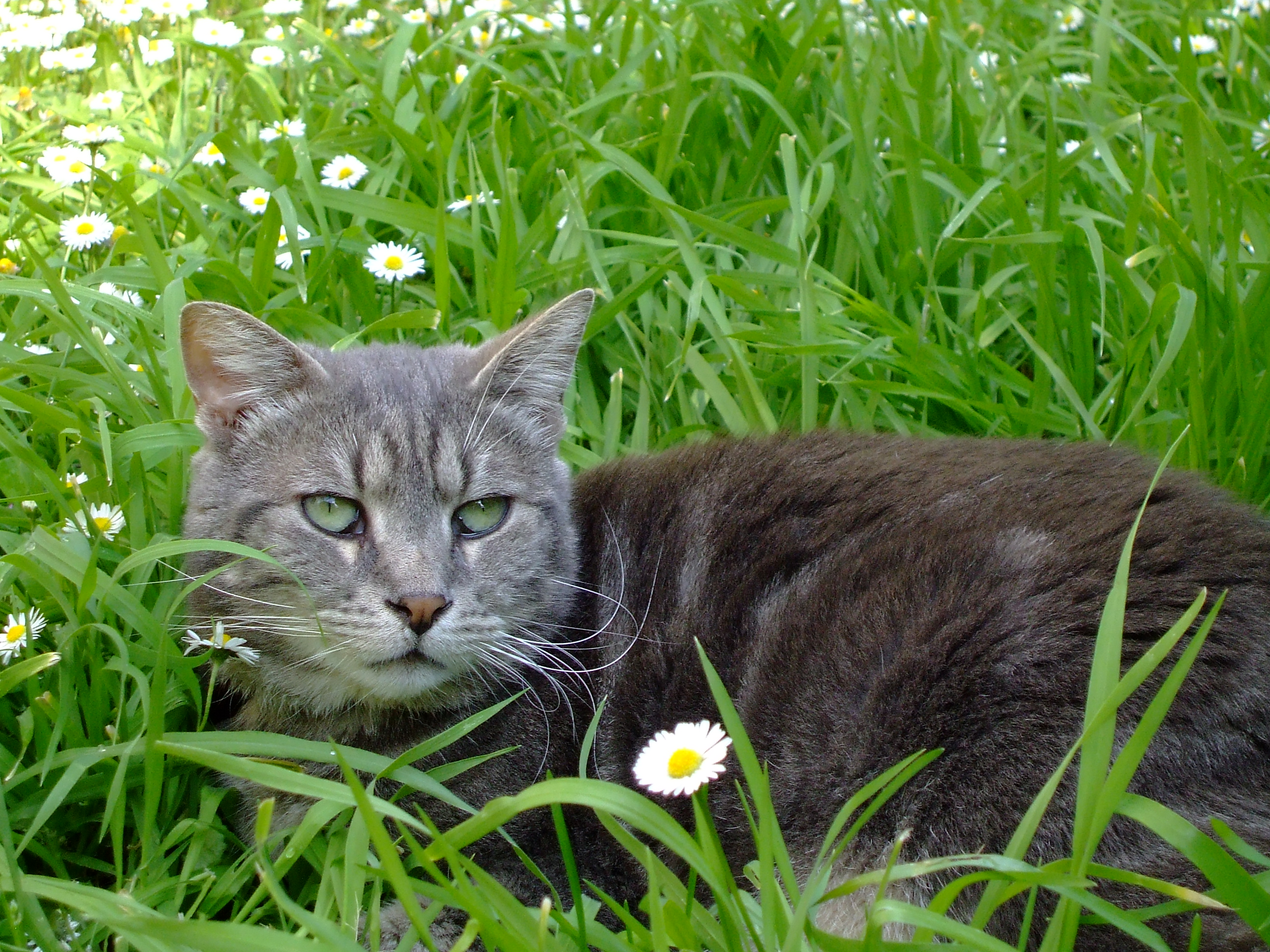 File chat tabby s 39 amusant dans l 39 herbe jpg wikimedia commons - Herbe a chat ...