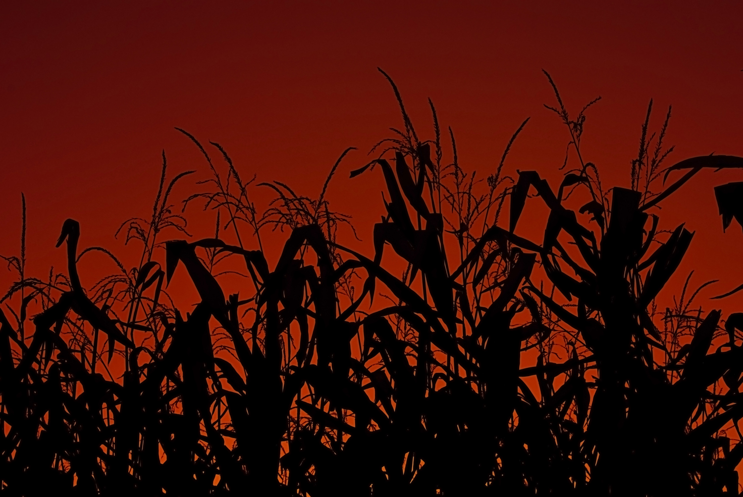File:Corn stalks at sunset.jpg - Wikimedia Commons